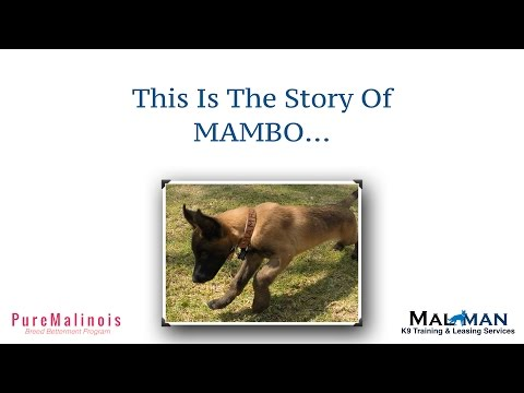 Mambo Story Series - Belgian Malinois Puppy Stories