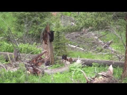Three Little Bears  (Yellowstone black bears)
