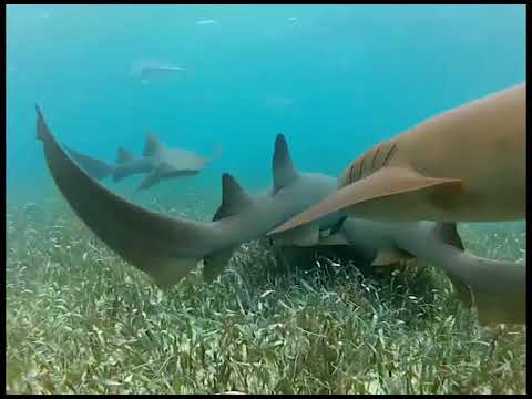 Work Continues on Managing Shark Population