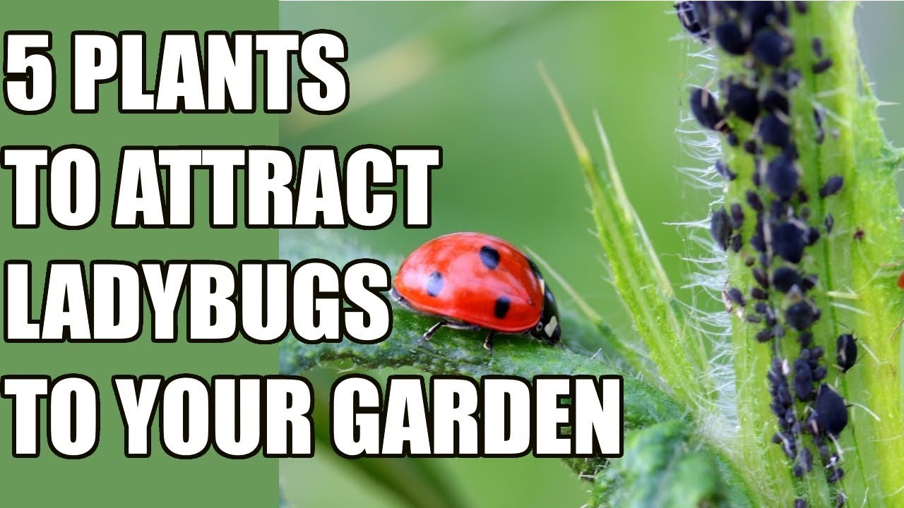 How To Attract Ladybugs To Your Garden   5 Ladybug Attracting Plants
