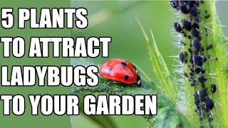 How to Attract Ladybugs to Your Garden - 5 Ladybug Attracting Plants