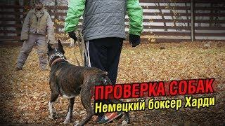 Внезапная атака на хозяина | Проверка собаки: Немецкий боксер Харди