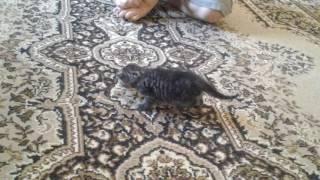 Котёнок учится ходить и немного пошёл