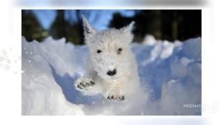 Характеристика породы вест хайленд уайт терьер порода собак