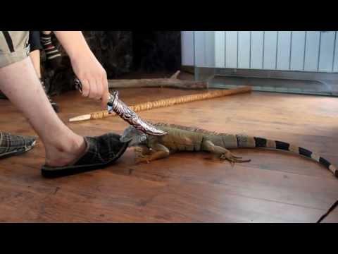 Вадим опасны ли ящерицы для человека Эвокуаторных