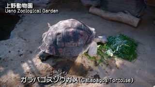 ガラパゴスゾウガメ(Galapagos Tortoise)