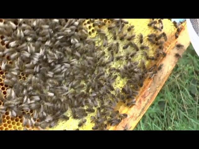 Zwarte bijen van het eiland Man