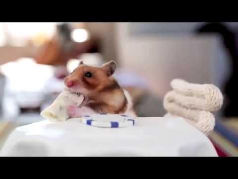 Маленький хомяк ест крошечные буррито