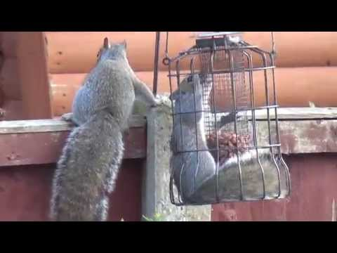 Squirrels Cage Fighting