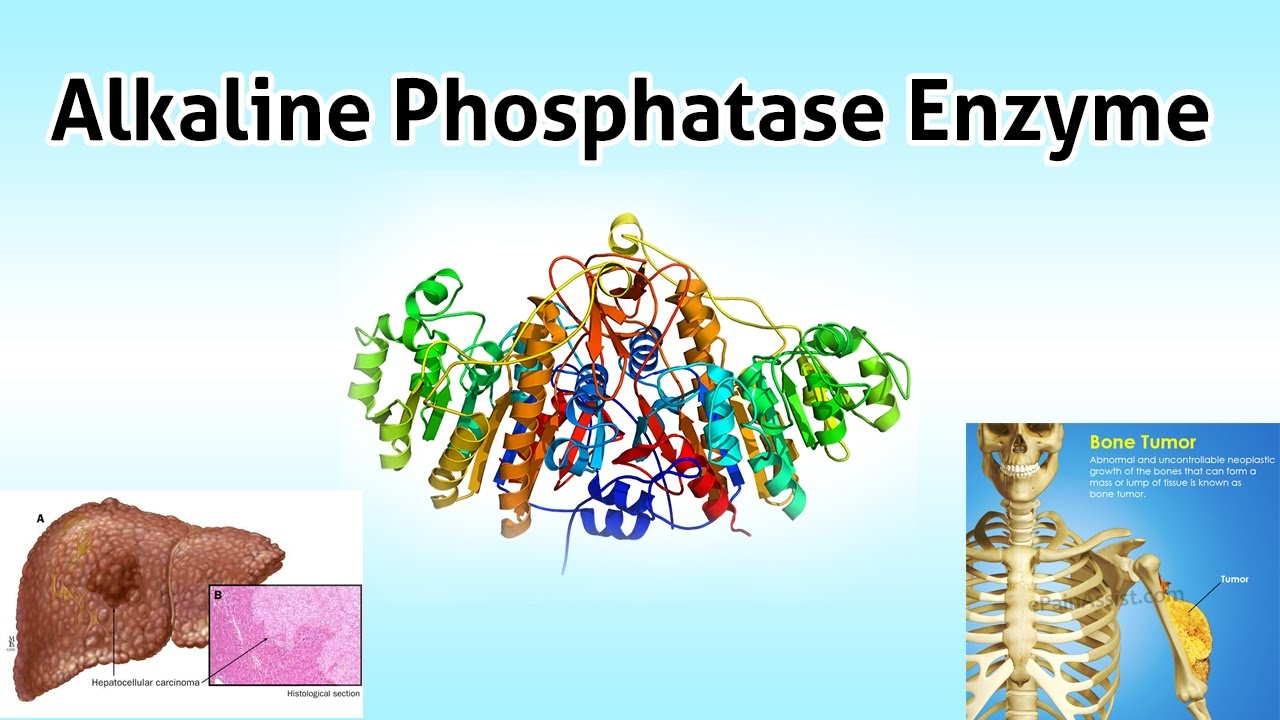 Alkaline Phosphatase Enzyme ( Clear Over View ) - YouTube