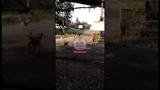 चंद्रपूर:अस्वलाला कुत्र्यांनी पळविले बघा व्हिडिओ