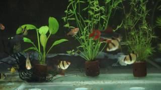 Aquscape Indonesia, Jawa Tengah, Pati, Tayu, Purwokerto Ikan Dansa fish dance