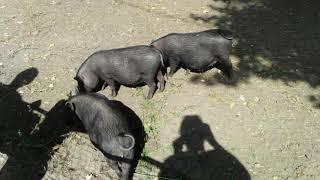 Черные свинки-мини