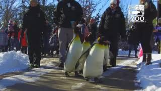 Penguin Parade Never Too Cold! - Cincinnati Zoo