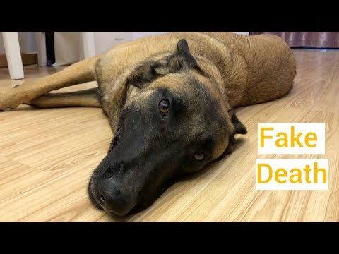 Funny Dog Fakes Death to Avoid Training | Part One