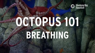 Octopus 101 | Breathing!