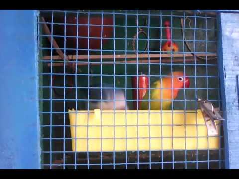Fischer&masked African love birds