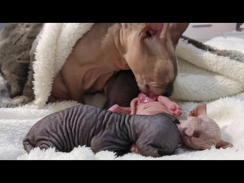 Sphynx cat mommy takes care of her cute kittens / DonSphynx /
