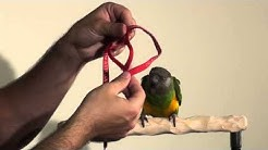 Putting Aviator Harness on Parrots in 10 Seconds!