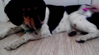 Когда собака не любит расчёсываться.)))   Идёт расчёсываться как на казнь! )