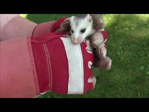 FINDING A BABY POSSUM IN OUR BACKYARD?!?!
