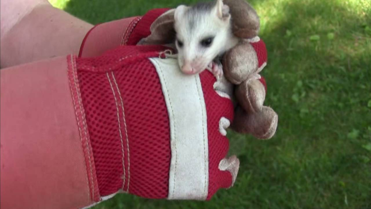 finding a baby possum in our backyard youtube