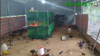 Mô hình nuôi gà nòi thả vườn | cách nuôi gà ít dịch bệnh | khởi nghiệp TV