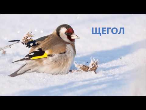 Фото, видео-презинтация на тему птицы зимой