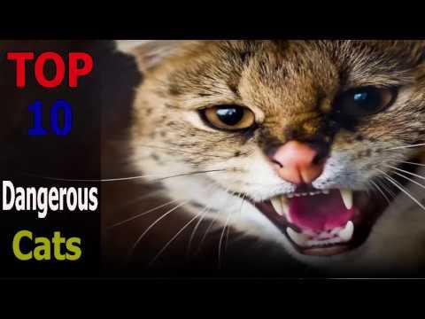 Top 10 dangerous cat breeds | Top 10 animals