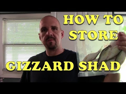 How To Catch And Store Gizzard Shad For Catfish Bait