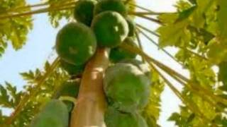 52 Benefits of Papaya
