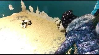 Едем покупать щенка английского кокер спаниеля.Арчи 2 месяца. English Cocker Spaniel.