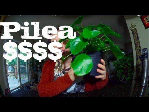 I Bought An Expensive Plant | Pilea + Propagating