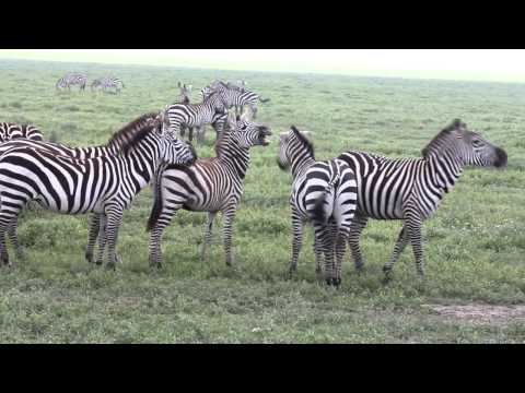 Tanzania - video 3 - Serengeti.wmv
