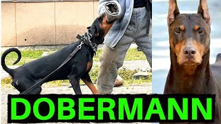 DOBERMAN PINSCHER - A LENDA VIVA DOS CÃES DE GUARDA! | Dobermann em ação!