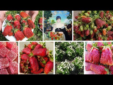 «Купеческий» урожай и цукатный вкус: два лучших сорта земклуники!