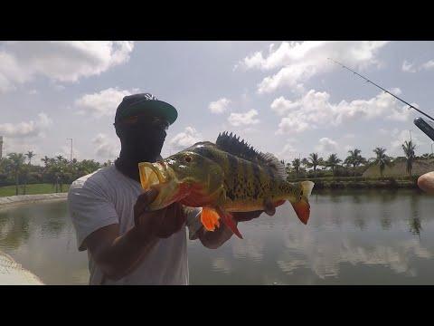 Urban Peacock Bass Fishing In Miami Florida