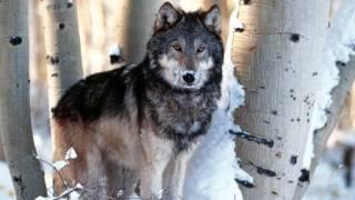 wilki, Wilk cudowne zwierzę .wmv