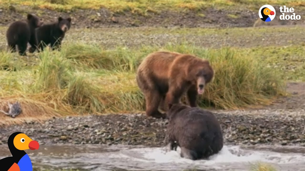 Bear Mom Fights Off Male To Protect Her Babies