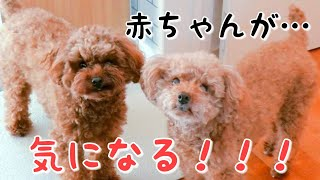 あーくんの〇〇〇が気になる!? トイプードルのTaruto&Rasuku