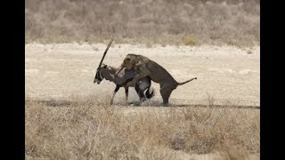 Staring death in the face: Antelope squares up to lion before being killed - Today News