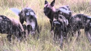 African Wild Dogs (aka Painted Dogs) Vs Hyena At &beyond's Xaranna Camp, Botswana (unedited Version)