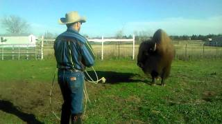 Cowboy Ropes A Bison Then Uses Him As A Hatrack