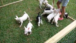 Bull Terrier Puppies Playing In An Outside Pen