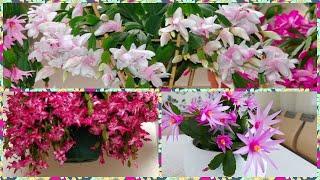 Стимулирую на пышное цветение своего декабриста и он цветет до 20 дней