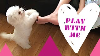 Cute Maltese puppy dog wants to play