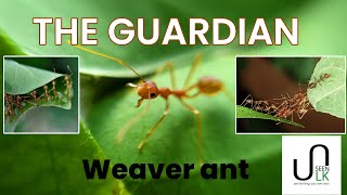 The Guardian - Weaver Ant