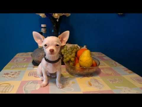 Купить щенка чихуа-хуа недорого в Москве.Мини, РКФ. 89055466692из YouTube · С высокой четкостью · Длительность: 39 с  · Просмотров: 97 · отправлено: 03.05.2017 · кем отправлено: Валентина Заяц