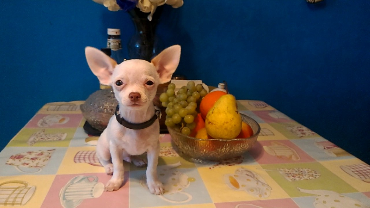 1 день назад. Щенки чихуахуа — шоу, брид и пет классов в москве. Щенки • собаки чихуахуа | купить щенка | питомник | чихуа-хуа.