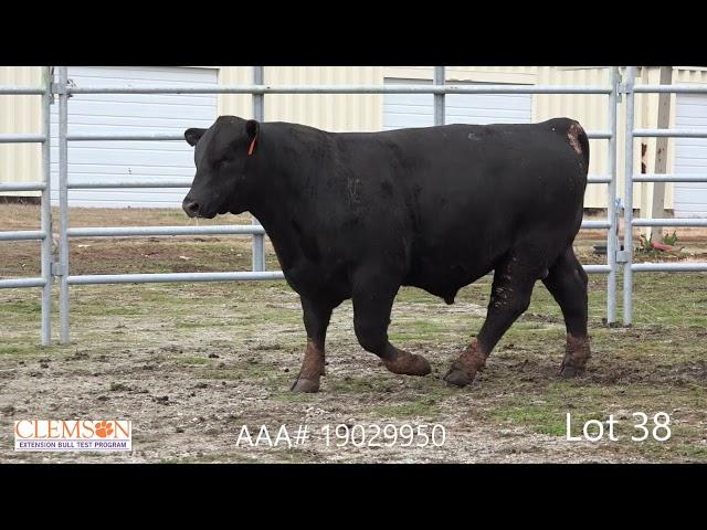 Clemson Extension Bull Test Lot 38